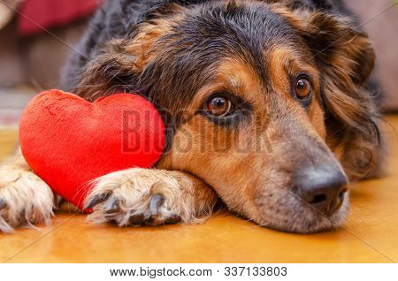 Dog German Shepherd With A Red Heart Around The Feet. Concept Of The Holiday, Valentine's Day.