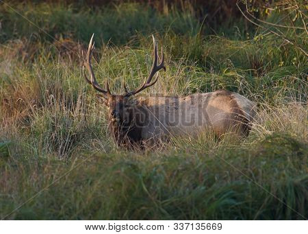 Bull Elk In Late Evening Light Off U.s. Hwy 101 Near Redwood National Park, California