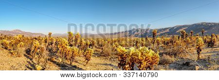 Cholla Cactus Garden In Joshua Tree National Park Hdr/panorama