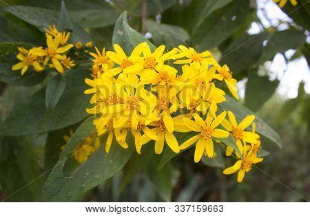 Woolly Mule Ears Yellow Flowers With Green Leaves Behind