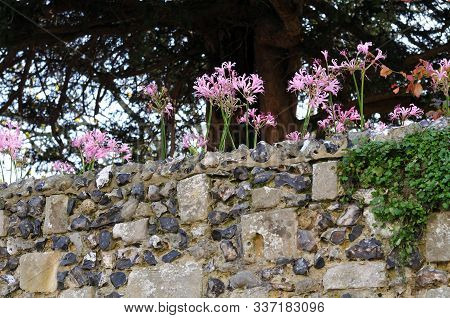 Pink Flowers Of Crinum At A Wall Of Limestone And Flintstones In Autumn In Kent, England