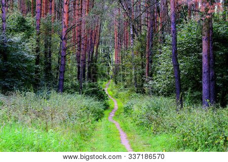 Summer Pine-tree Forest Scenery With Road (footpath) Of Green Grass & Foliage. Pathway In Scene Spri