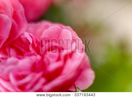 Beautiful Pink Rose With Tiny Raindrops Macro  Rose Pink Flower Flowers Summer Spring Beauty Wedding
