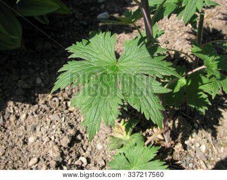 Delphinium Elatum Plant (alpine Delphinium) In A Garden