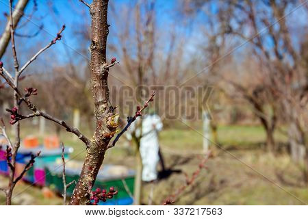 Fresh Pruned Twig With Bud Before Chemical Protection. Farmer In Protective Clothing And Gas Mask Sp