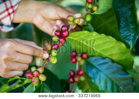 Coffee Beans In Northern Thailand. Coffee Beans That Are Cooked On The Coffee Tree. The Hands Of Far