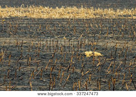 Corn Field After Irresponsibly Burnt , Destroyed And Turned To Ashes. Burnt Corn Field After Harvest