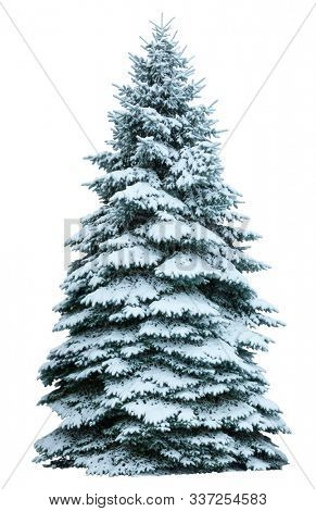 Christmas tree in snow isolated on white  background. Fir tree without decoration.