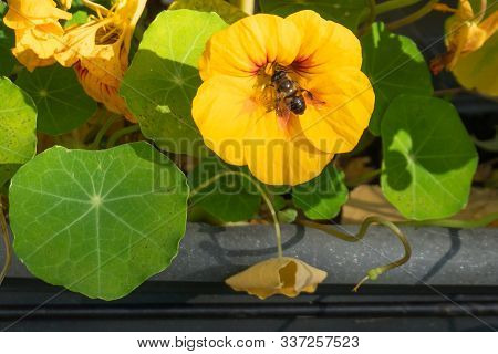 Bright Orange Indian Cress Flower With Visiting Hoverfly, Surrounded Bij Green Cress Leaves