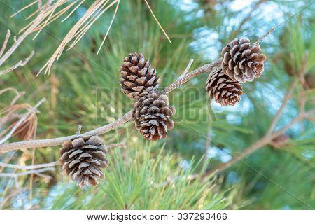 Cedar Nut, Pine Cone Green. Pine Nut, Pine Lump, Cedar Wood. Cedar Branch. Woodland Cedarwood