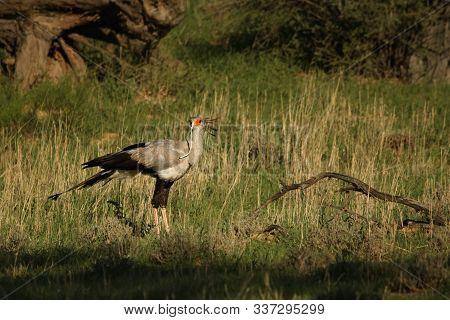The Secretarybird Or Secretary Bird (sagittarius Serpentarius)  Walking And Hunting In The Green Gra