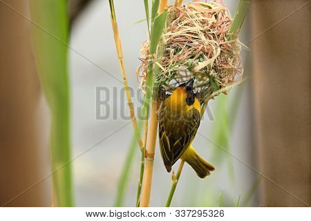 The Village Weaver (ploceus Cucullatus), Or Spotted-backed Weaver Or Black-headed Weaver Sitting On