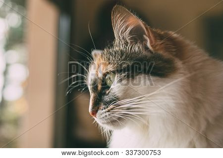 Close Up View Of Long Haired Cat Looking Through The Window. Domestic Cat. Lovey Tricolor Cat. Domes