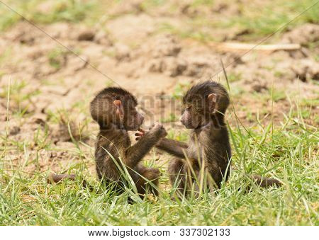 Closeup of Olive Baboon Babies (scientific name: papio anubis, or Nyani in Swaheli) in Lake Manyara National park, Tanzania