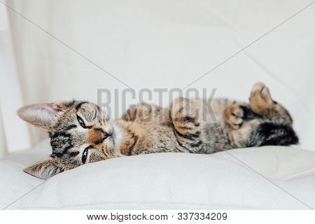 Young European Shorthair Cat Sitting On White Background.