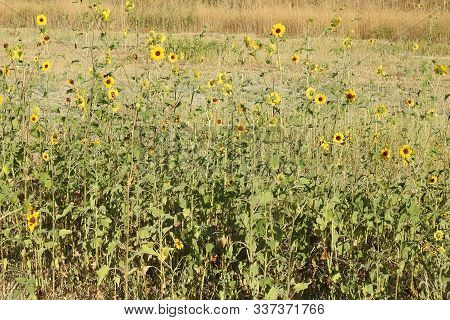 Tiny Sunflowers, Bloomed In A Field, In Merced County, California.
