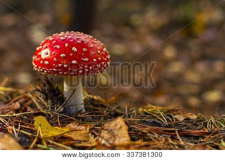 One Red Fly Mushroom Or Toadstool In Autumn Forest & Sunlight On Leaves Background. Amanita Muscaria
