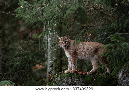 Lynx On A Rock In The Woods. The Beast In The Animal And Wild World.