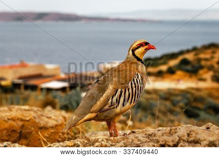 A Chukar Partridge (alectoris Chukar) In Cape Sounion, Greece.  It Is A Eurasian Upland Gamebird In