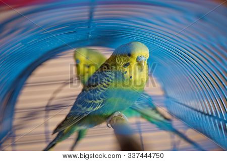 Parakeets . Green Wavy Parrot Sits In A Cage . Rosy Faced Lovebird Parrot In A Cage . Birds Insepara