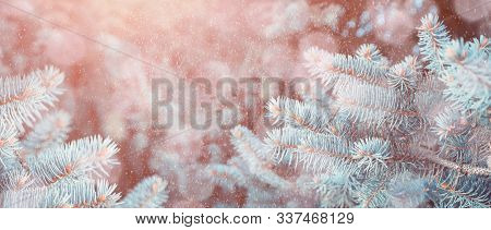 Winter snowy background with blue winter fir tree branches under falling winter snowflakes. Blue winter pine tree branches under winter falling snow, closeup of winter forest nature with free space for text