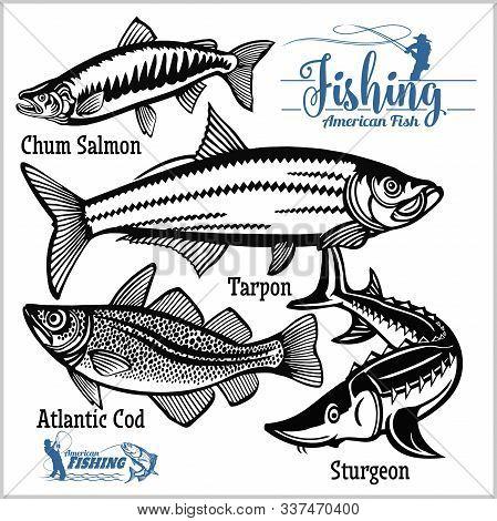 Atlantic Cod, Chum Salmon, Tarpon And Sturgeon - Vector Set Fishing On Usa Isolated On White