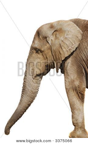 A Large Elephant Isolated On White Background