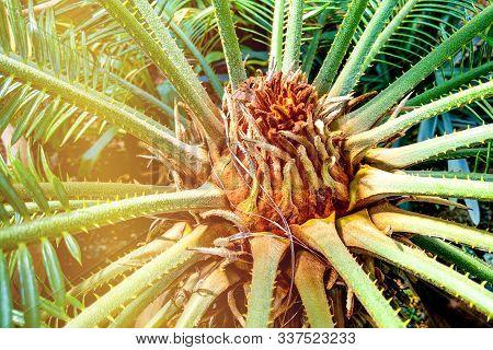 Green Leaves Of Japanese Sago Palm Tree Cycas Revoluta The Foliage Cycad Palm Plant.