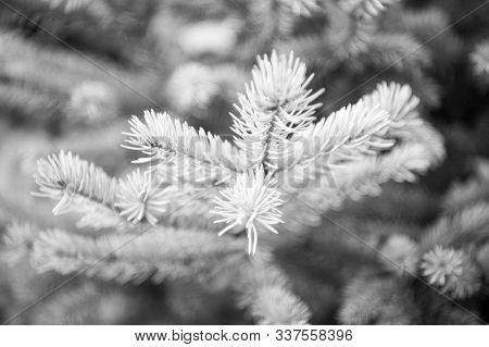 Christmas Season Is Coming. Coniferous Evergreen Spruce Tree. Spruce Or Conifer Plant. Spruce Fir Or
