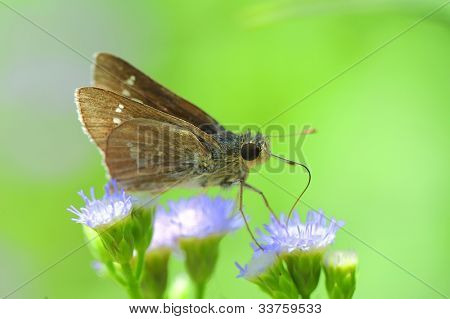 skipper resting on blue flower