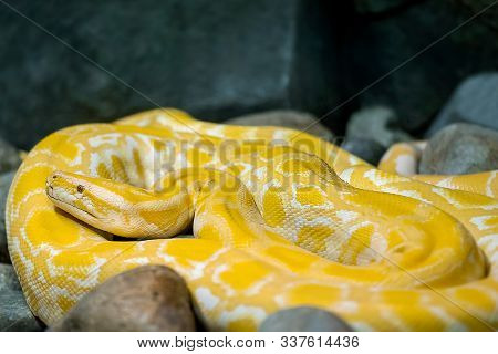 Close Up Of Big Python Regius Or Royal Python Is A Large Non Poisonous Snake. Large And Massive Ball
