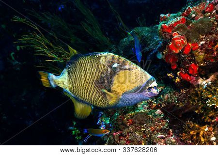 Underwaterphoto Of Titan Triggerfish From A Scuba Dive At Koh Haa In Thailand.