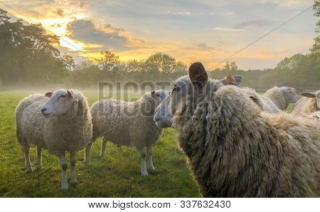 Flock Of Sheep, Staring Sheep On Grass Farmfield Under A Dramatic Sunset Or Sunrise Sky