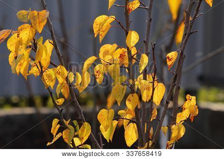 It Is A Young Apricot Tree In Autumn. The Bright Yellow Leaves Of The Apricot Tree Are Photographed