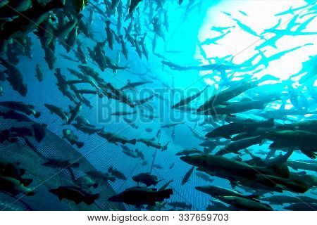 A Flock Of Fish Inside The Fish Farm, Breeding Commercial Fish In The Fish Farm