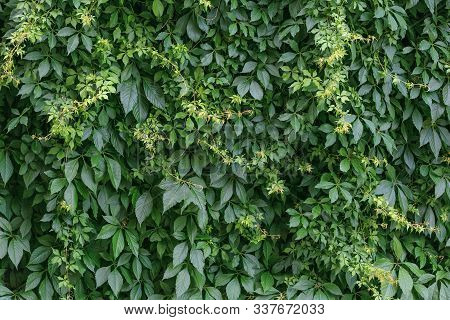 Green Hedge Background. Fence Of Creeper Leaves. Texture Of Tree Ivy, Nature Backgrounds. Creeper Vi