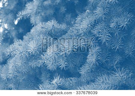 Fir Branches Classic Blue Spruce. Close Up. Branches Of Classic Blue Spruce. Winter Nature. Spruce N