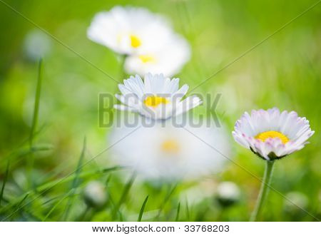 The daisyes in grass.