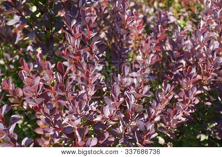 Purple Foliage Of Thunberg's Barberry In August
