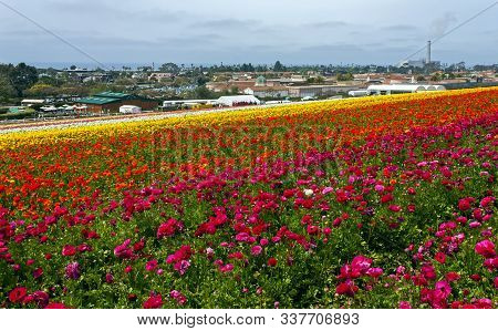 Rows Of Colorful Flowers Grow In Carlsbad, California,united States Of America.