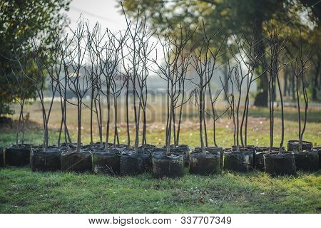 Reforestation Set Of Young Trees Trunks In Pots