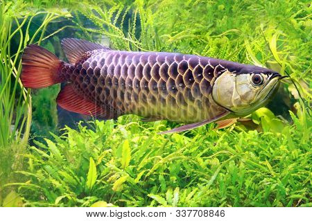 Asian Arowana, Scleropages Formosus, The Dragon Fish. One Of The Most Worth Aquarium Fish.