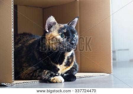 Close Up Of Tortoiseshell Cat. Tortoiseshell Cat Portrait. Close Up Of Tortoiseshell Cat Lying On Fl