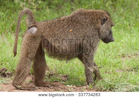 Closeup of Olive Baboon (papio anubis, or Nyani in Swaheli) in Serengeti National park, Tanzania