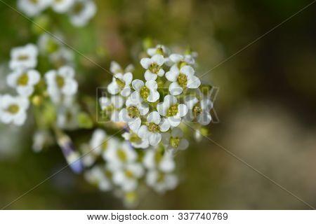 Sweet Alyssum White Flowers - Latin Name - Lobularia Maritima (alyssum Maritimum)
