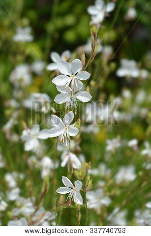 White Gaura Flwers - Latin Name - Oenothera Lindheimeri (gaura Lindheimeri)