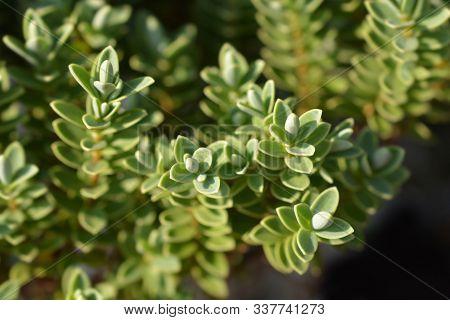 Shrubby Veronica Leaves - Latin Name - Hebe Pinguifolia