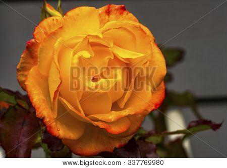 Orange Pinata Climbing Rose Blooming Fall Autumn Red Leaves Bellevue Washington State. Last Rose Of