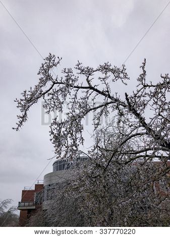 Icicles Of Freezing Rain On Tree Brenches With Office Building On The Back.