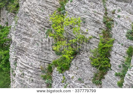 Green Plants On A Steep Limestone Rock. Natural Background, Limestone Rock Texture And Green Plant
